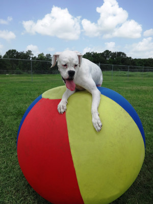White dog playing with large multi-colored ball