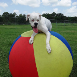 Dog playing with giant ball in yard