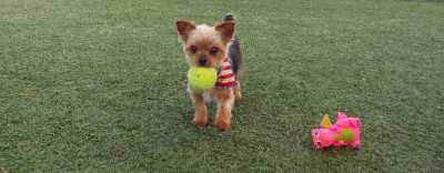 Small dog with tennis ball in mouth