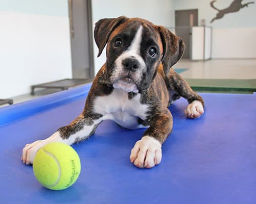 brindle boxer puppy playing with ball